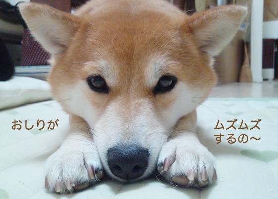 すねている柴犬