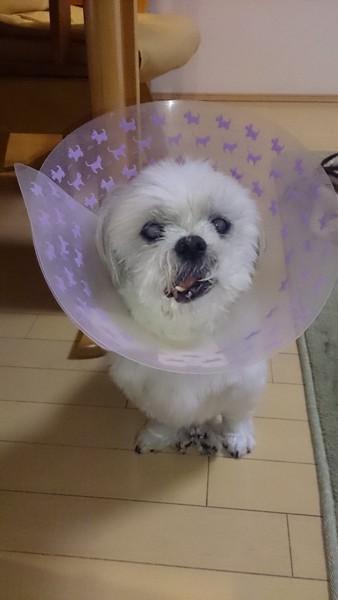 エリザベスカラーした犬