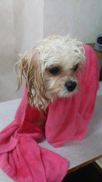 タオルで体を拭いている犬