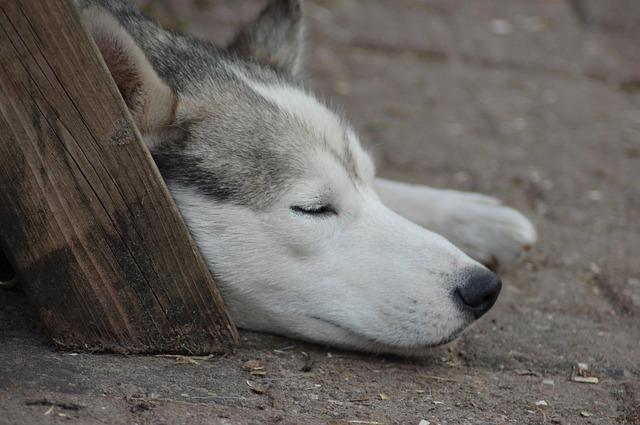 迷い犬のハスキー