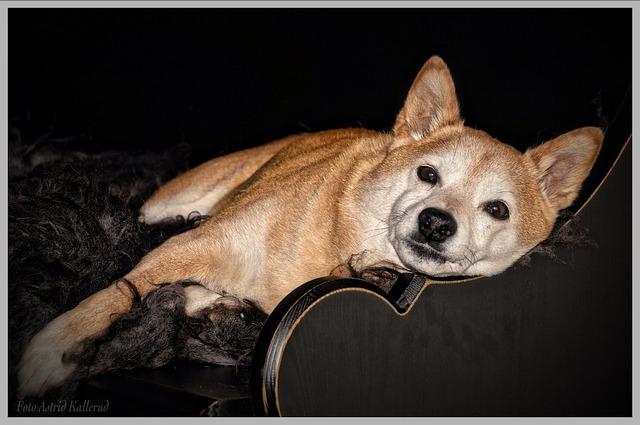 寝そべる柴犬