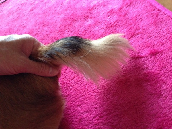 ロングコートチワワの尻尾
