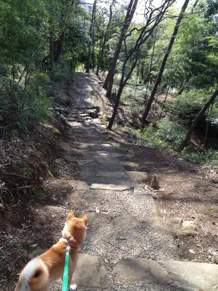 林の中を歩く柴犬