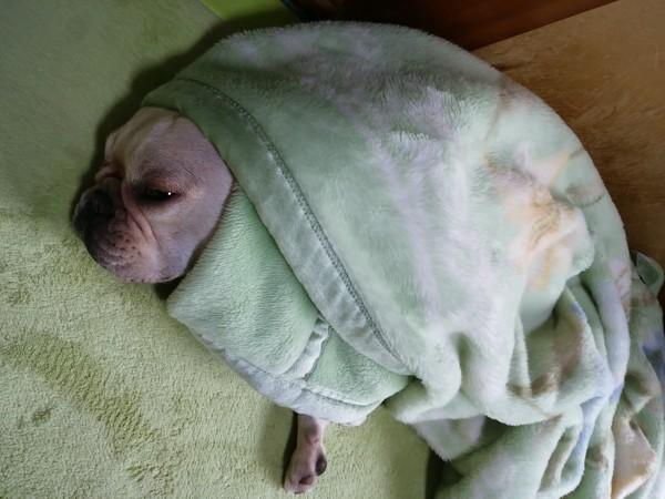 毛布にくるまる愛犬