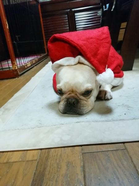 サンタ姿で伏せ、疲れ気味の愛犬