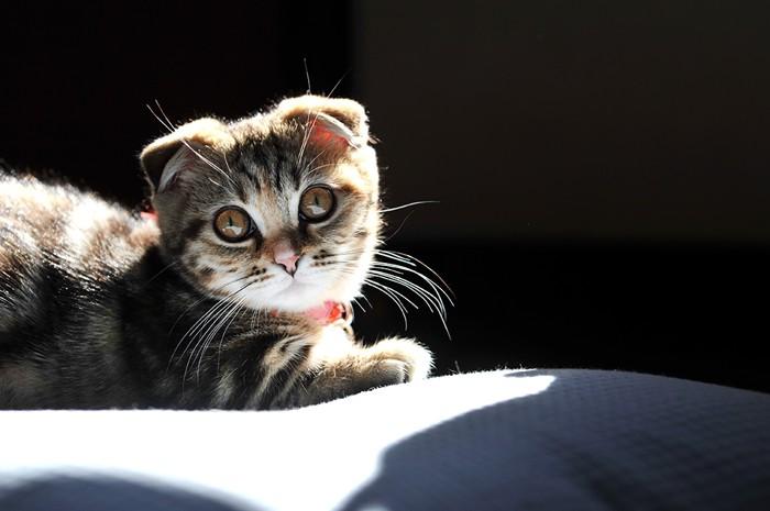 マンチカンの子猫