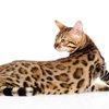 ベンガル大辞典!見た目とのギャップを持つ魅力いっぱいの猫♪