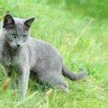 ロシアンブルーの特徴。見た目から内面まで魅力的な猫種
