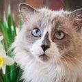 パンサー菅の飼っている猫、ラグ・ノル・アンの種類は?画像も紹介