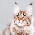 猫の耳垢の正しいお手入れ方法とチェックポイント