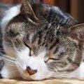 私に猫の魅力を教えてくれた。拾われ猫「千代」との出会い
