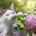 最悪死亡する事も…猫に紫陽花(アジサイ)は危険な花!食べてしまった…