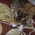 とっても仲良し♡トラと一緒に暮らす猫ちゃん