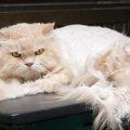 猫のムダ毛ケアお家で出来る事を2つご紹介!