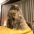 海外でも大人気♡ゴージャス過ぎるペルシャ猫がTwitterで話題!