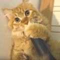 吸われたいニャ♪掃除機の先端にペロペロし続ける猫さんの謎の行動
