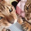 猫じゃすりで遊びたい!邪魔しにやってくる子猫たち