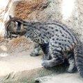 スナドリネコはどんな猫?水が好きな理由や会いに行ける水族館