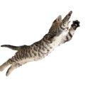 猫のジャンプとその脅威的な身体能力とは