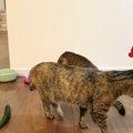 キュウリで驚かせたい飼い主と、肝の据わった猫達の攻防!