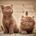 茶色の猫はどんな種類がいる?性格や特徴、飼い方まで
