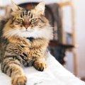 大きくてもふもふな猫メインクーンの動画10連発!