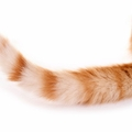 尾曲がり猫が長崎で多い理由と幸運を招く言い伝え
