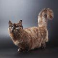 マンチカンの成猫はどのぐらいの大きさ?体の特徴や人気の秘密