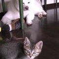 自由奔放な子猫ちゃんと母のように見守るわんちゃん❤