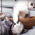 しっぽにじゃれる子猫ちゃん!ついに怒った先輩猫さんに思わずびっく…