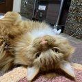 猫がゴローンと寝転がる時の心理5つ
