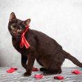 猫種 ハバナブラウンの基本情報まとめ