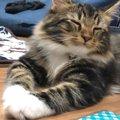 愛猫は入ってる?♡人気の大型猫ランキングTOP4