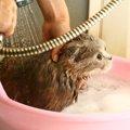 猫をシャンプーする方法と乾かし方