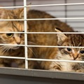 猫の交尾について  発情期のメス猫の発情サイクルとは