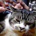 不審な動き?!耳掃除される猫ちゃんの仕草が可愛すぎる♡