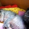 0.001秒で寝る子猫