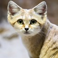 スナネコ(砂猫)は世界一可愛い!準絶滅危惧種にも指定される貴重な猫