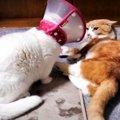 エリザベスカラーのおかげ?いつもより強気な白猫さん!