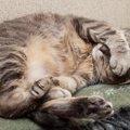 猫のお腹にハゲができる原因と治療の方法