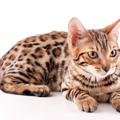 ベンガル猫の飼い方の項目別ポイント