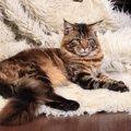 メインクーンの飼い方について。大きな猫を飼うときのポイント