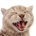 猫の歯の種類や構造、病気について