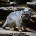 マヌルネコと会える動物園まとめ!特徴から可愛い動画まで
