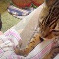 ベンガルさんに黒猫さん…♡飼い主さんに甘えたい猫ちゃんたち!