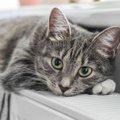 猫の死を招く『紫陽花』の危険性とは?食べた時に表れる2つの症状や対…