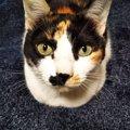 長生きな猫の種類ランキングトップ5