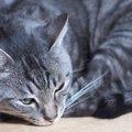 サバ猫の性格とその魅力