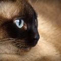 シャム猫の平均寿命は?長生きさせるためには病気とケガに要注意!