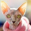 """無毛の猫、""""スフィンクス""""ってどんな猫?特徴や魅力をご紹介します!"""